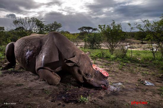 《对一个物种的追忆》(野生生物摄影记者奖故事组冠军作品之一) (南非)布伦特?斯蒂尔顿 摄影